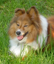 sheltie-dog